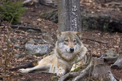 Wolfsregion Lausitz - Wolfsführungen in Deutschland